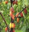 cacao_tree_two